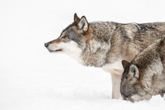 Wolf. A Grey Wolf looking into the distance while a fellow pack member investigates a scent beneath the snow Royalty Free Stock Image