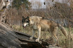 Wolf. Grey wolf stalking prey from a log Royalty Free Stock Image