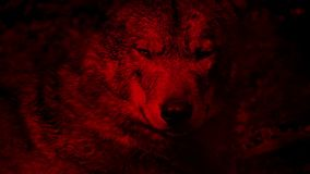 Wolf Growls Blood Red Abstract. Large adult wolf growls and bears teeth