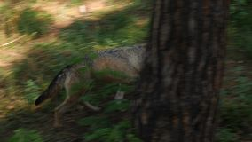 Wild male or female wolf walking or running in the forest green grass summer time close to the trees