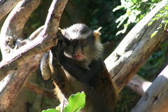 Wolf Guenon (Cercopithecus wolfi wolfi) Royalty Free Stock Images