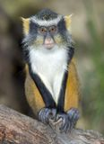 Wolf guenon monkey, africa big eyed gremlin Royalty Free Stock Images