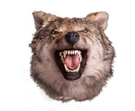 Wolf head with angry face on white background. Wolf head with angry face isolated on white background. Wild animal royalty free stock image