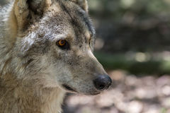Wolf head and eyes Royalty Free Stock Image