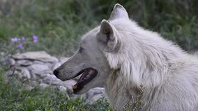 Wolf head in nature. stock footage