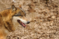 Wolf head. With open mouth from detail view royalty free stock image