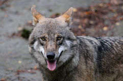 Wolf head portrait. Sweden, canis lupus stock photos