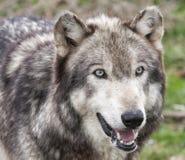 Wolf Head Shot Immagine Stock