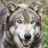 Wolf Head Shot Photographie stock