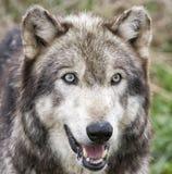 Wolf Head Shot Fotografia de Stock