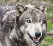 Wolf Head Shot. Adult grey wolf head and shoulders stock image