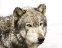 Wolf Head Shot Royalty Free Stock Images