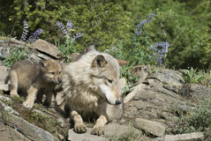 Wolf with her cub Stock Photography