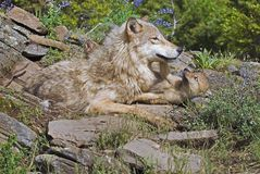 Wolf With Her Cub Royalty Free Stock Image