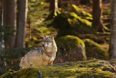 Wolf in het bos Royalty-vrije Stock Foto