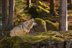 Wolf in het bos Royalty-vrije Stock Foto's