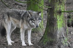 Wolf in het bos stock foto's