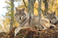 Wolf in het bos van Narvik, Noorwegen Stock Afbeelding