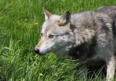 Wolf in het gras stock afbeelding