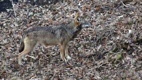 Wolf in het hout stock video