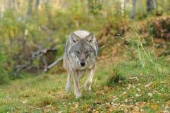 Wolf het naderbij komen Stock Foto's