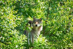 Wolf hide between trees. Close up of a wolf in the norwegian summer forest Royalty Free Stock Photography
