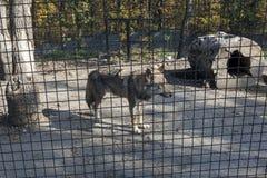 Wolf hinter Zaun in Käfig 02 Stockfotos