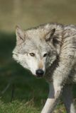 Wolf in Hout Stock Afbeelding