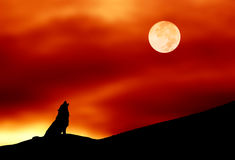 Wolf howling. Lone wolf howling at the full moon Royalty Free Stock Image