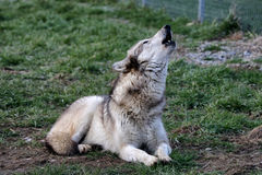 Wolf howling Stock Images