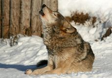 Wolf howling Stock Photos
