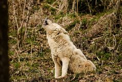 Wolf Howling in the Forest Stock Photos