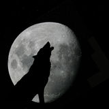 Wolf howling at full moon. Vector silhouette illustration of wild wolf howling against the sky with full moon rising behind Royalty Free Stock Photography