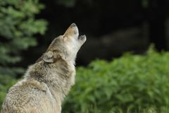 Howling Gray Wolf stock images