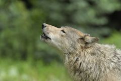 Howling Gray Wolf stock photos