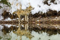 Wolf howling with reflection. Stock Photo