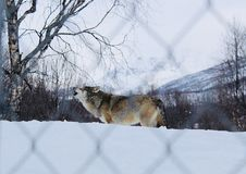 Wolf howling in the snow stock image