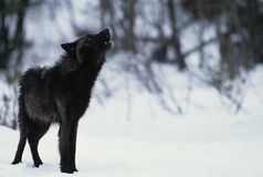 Wolf Howling in Snow. A beautiful black gray wolf howling in winter in deep snow Stock Photo