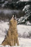 Wolf Howling in Snow. A big gray wolf howling in asnowstorm Stock Photo