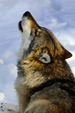 Wolf howling in snowy Bavarian forest. Wolf howling down in snow Stock Image
