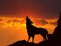 Wolf howling at sunset. Image of wolf howling at sunset Royalty Free Stock Images