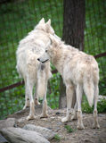Wolf Hudson, Canis lupus hudsonicus Stock Photography