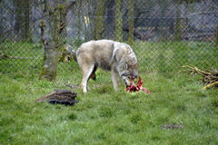 The Wolf. A hungry feeding Wolf eating raw meat off the bone in its enclosure in the wildlife reserve park in Kent Stock Photo
