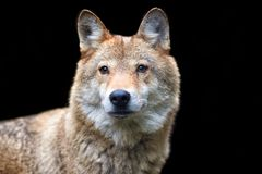 Wolf hunting in the forest. Timber wolf hunting in the forest Royalty Free Stock Image