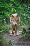 Wolf hunting in the forest Royalty Free Stock Images
