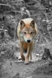 Wolf hunting in the forest Stock Photo