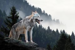 Wolf hunting in mountain. Timber wolf hunting in mountain Royalty Free Stock Photo