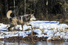 Wolf hunting near forest Stock Photo