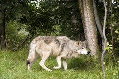 Wolf Hunting Prey Stock Photo
