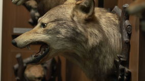 Wolf Hunting Trophy. A hunted wolf trophy hanged on the challet wall stock video footage